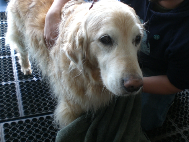 underwater-treadmill-therapy-dog