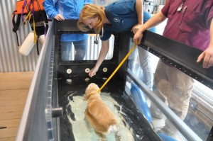 Chicago Vet Underwater Treadmill Royal