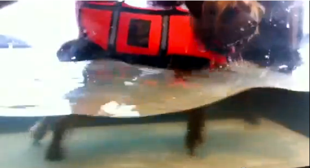 Sparky the Dog Walks in Underwater Treadmill