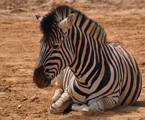 Wild Health Zebra in Zoo