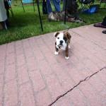 11 Week Old Bulldog!