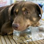 115068504-banfield-heatstroke-dog-cat-632x475