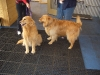 golden-retrievers-at-vet-in-chicago